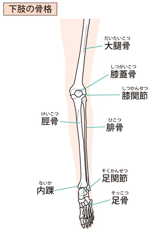 下肢骨格のイラスト
