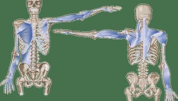 骨格と筋肉のイラスト